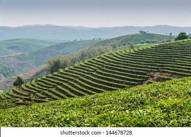 Tea plantations of Dadugangxiang village in vicinities of city Sishuanbanna