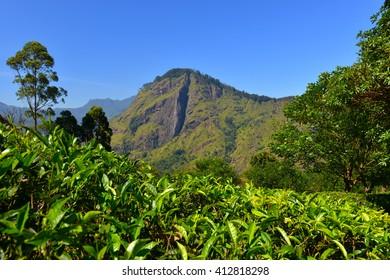 tea plantations, Ella Rock Silanka