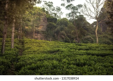 Tea plantations field terrace scenery landscape among rocks in Asian Sri Lanka Nuwara Eliya surroundings