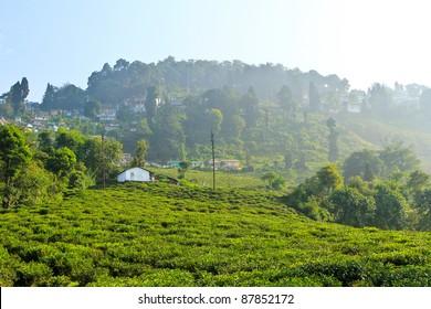 Tea Plantations with Fog at Happy Valley (Darjeeling), India