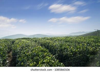 tea plantations   Green tea plantations in spring