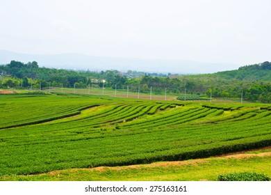 Tea plantations grown on mountain
