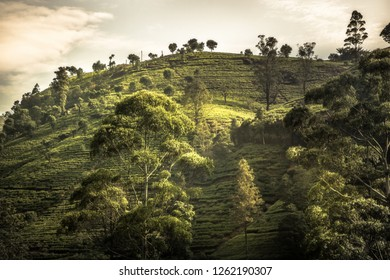 Tea plantations hill fields trees vibrant sunset landscape in Asian Sri Lanka Nuwara Eliya surroundings