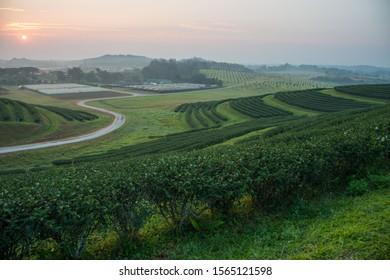 Tea plantations in morning light