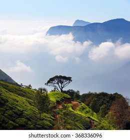 Tea plantations in Munnar, Kerala, South India. Munnar is situated at around 1,600 metres above sea level in the Western Ghats range of mountains.