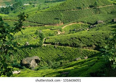Tea plantations near Munnar, Kerala, India - Image