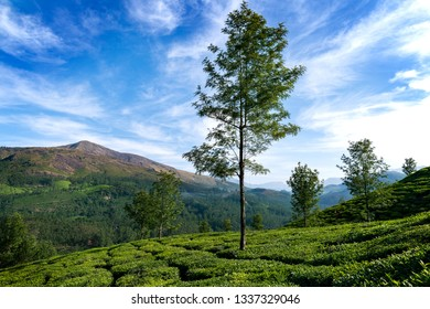 Tea plantations near Munnar, Kerala, India - Image