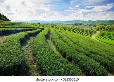 Tea Plantations at north of Thailand
