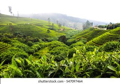 Tea plantations. Nuwara Eliya. Sri Lanka.