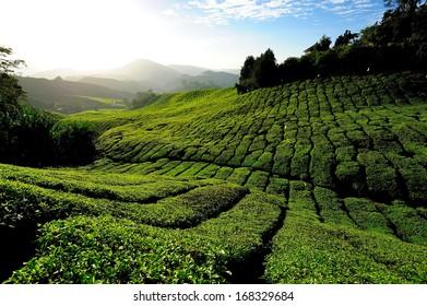Tea Plantations on the Hill