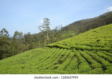 Tea plantations on hill slopes in Munnar, Kerala, India.