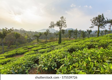 Tea plantations on Periyar mountains near Munnar, Kerala, India.