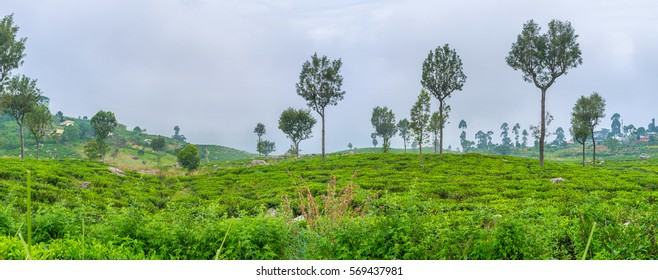 The tea plantations owned by Dambatenne Tea factory are one of the most largest in Sri Lanka