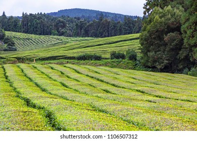 Tea plantations of Porto Formoso on Sao Miguel island, Azores, Portugal. Azores is home to the only such plantation in Europe. Amazing landscape of natural beauty