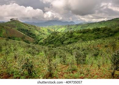 Tea plantations in Shan state, Myanmar