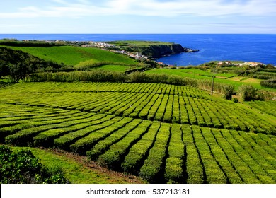 Tea plantations (the only in Europe) Gorreana plantations in Sao Miguel island, Azores, Portugal