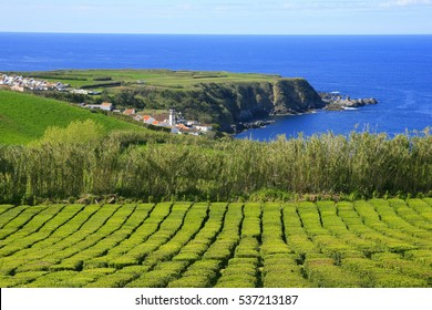 Tea plantations (the only in Europe),Gorreana plantations in Sao Miguel island, Azores, Portugal