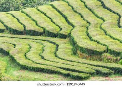 Tea plantations, unique in Europe, Portugal, Sao Miguel island, Portugl