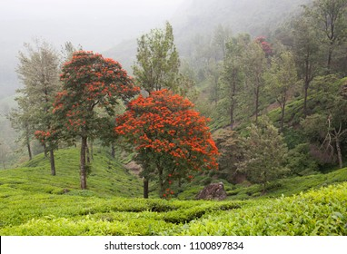 Tea plantations in Western Ghats range of mountains, Kerala, South India