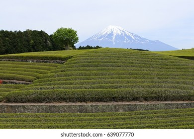 Tea plants around Mount Fuji