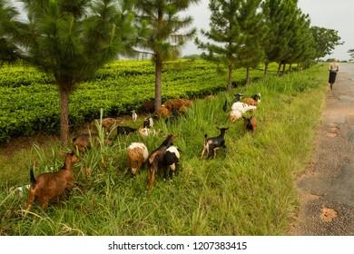 Tea plants in Uganda