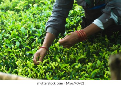 Tea pluckers at Golpaldhara tea estate, Darjeeling during the second flush tea plucking. Darjeeling, West Bengal/India-7/21/2019.