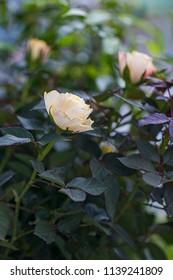Tea roses shrub.