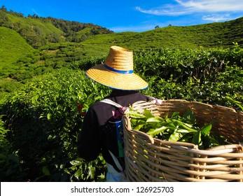 Tea Worker picking tea leaves in a tea plantation Cameron Highlands Malaysia