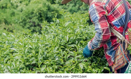 Tea worker picking tea leaves in tea plantation in northern of Thailand