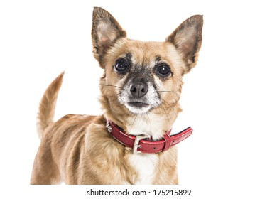 Teacup Chihuahua Dog on white background