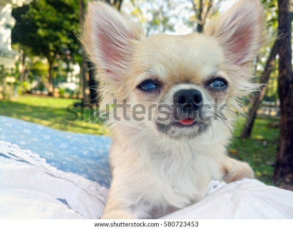 Teacup Chihuahua Garden Stock Photo (Edit Now) 580723453