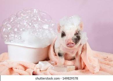 Teacup mini pocket pig with foam bath and towels on pink background