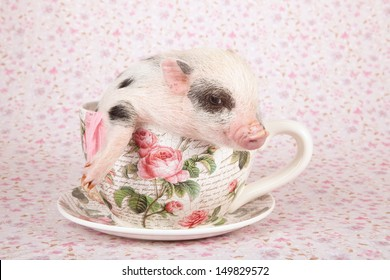 Teacup mini pocket pig sitting in oversize cup and saucer on lilac background