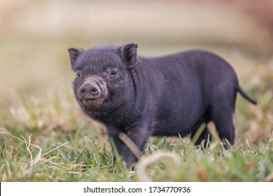 teacup pig baby in nature