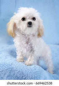 Teacup white poodle with blue background and coal black eyes and nose and apricot ears.