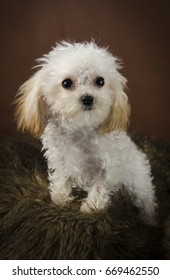 Teacup white poodle with brown background and coal black eyes and nose and apricot ears.