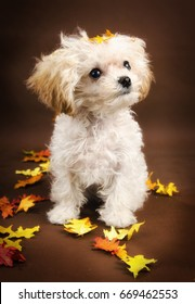 Teacup white poodle with fall background and coal black eyes and nose and apricot ears looking up. Orange and yellow autumn oak leaves surrounding her. Puppy expression.