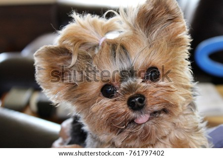 Teacup Yorkie Face Stock Photo Edit Now 761797402 Shutterstock