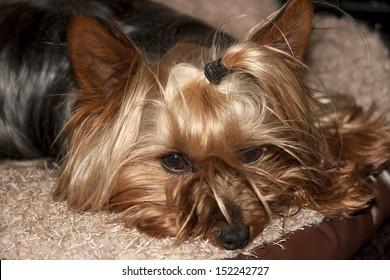 a teacup yorkie terrier resting in its basket