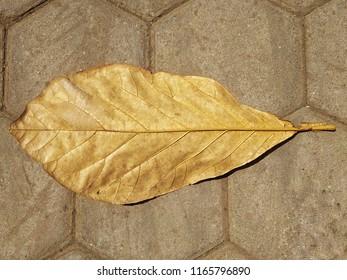 Teak leaf Daun Jati