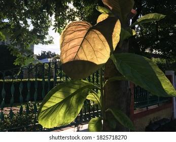 Teak leaves with morning light.
