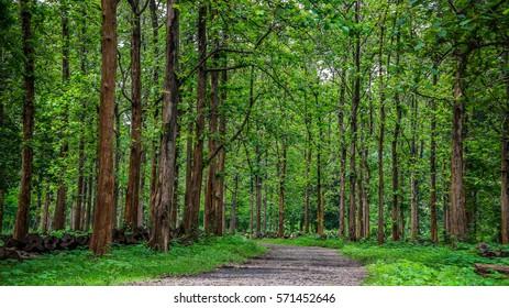 Teak Tree Images Stock Photos Vectors Shutterstock