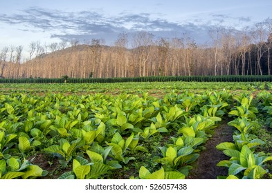 Teak and tobacco plantation under blue sky in East Java, Indonesia.