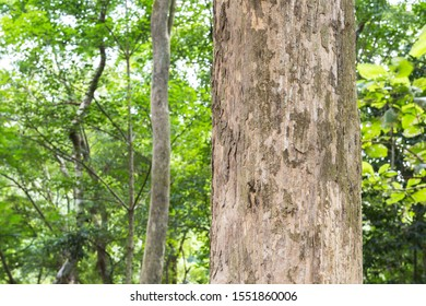 Teak tree in the forest