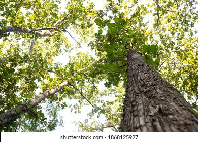 Teak tree in the forest.