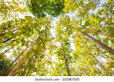 Teak tree forest with blue sky nature background