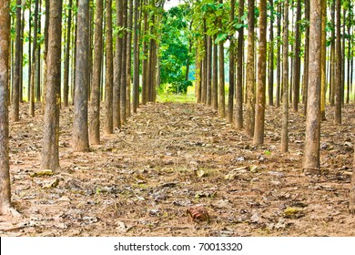 Teak trees in an agricultural forest in bright afternoon sunlight.