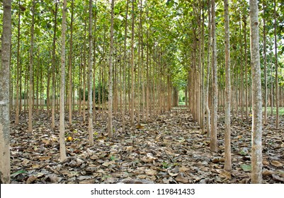 Teak trees in an agricultural forest, Thailand