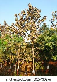 Teak trees Tectona grandis sagun,sag,sagwan,saag tree,at agricultural farm