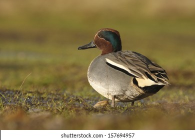 Teal Anas crecca, Male, Norfolk, Winter